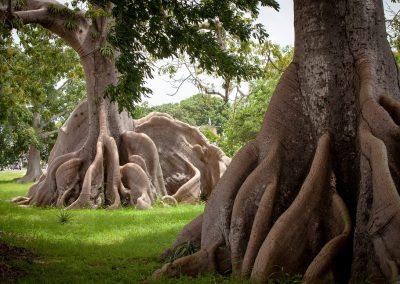 Смех Ящерицы. Священное Дерево Сейба